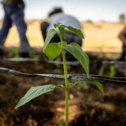 ¡Primeras plantas de peperina del proyecto Flor de Laburo!