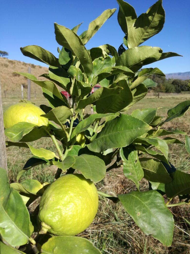 Limones en el monte frutal
